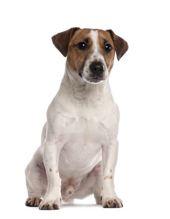 Portrait of Jack Russell Terrier, 1 year old, sitting in front of white background photo
