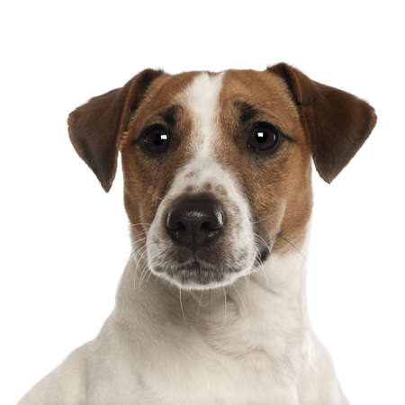 jack russell terrier: Portrait of Jack Russell Terrier, 1 year old, in front of white background Stock Photo