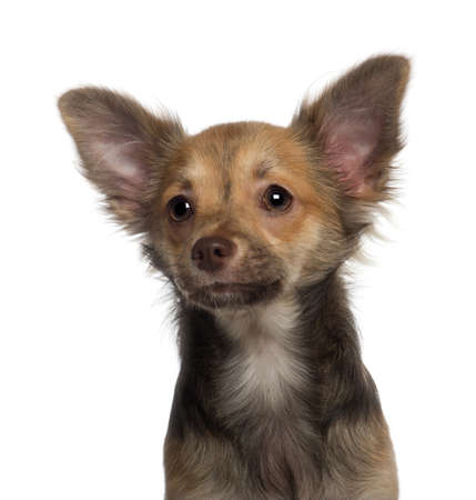 Close up of Chihuahua puppy, 5 months old, in front of white background Stock Photo - 13589956