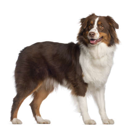 animal tongue: Portrait of Australian Shepherd, 1 year old, standing in front of white background