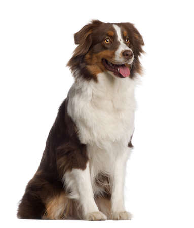 australian shepherd: Australian Shepherd, 1 year old, sitting in front of white background