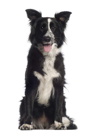 animal themes: Portrait of Border Collie, 1 year old, sitting in front of white background Stock Photo