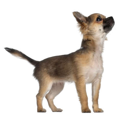 Chihuahua, 3 and a half months old, standing in front of white background