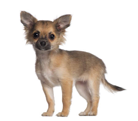 Portrait of Chihuahua, 3 and a half months old, standing in front of white background Stock Photo