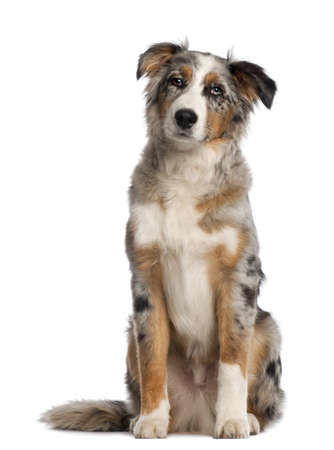 Portrait of Australian Shepherd, 5 and a half months old, sitting in front of white background photo