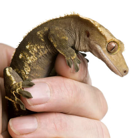 crested gecko: New Caledonian Crested Gecko, Rhacodactylus ciliatus, climbing on hand against white background