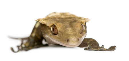 crested gecko: New Caledonian Crested Gecko, Rhacodactylus ciliatus against white background