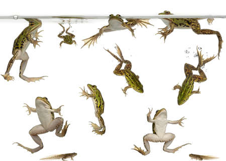 Edible Frogs, Rana esculenta, and tadpoles swimming under water against white background photo