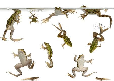 ciclo del agua: Las ranas comestibles, Rana esculenta y renacuajos nadando bajo el agua contra el fondo blanco