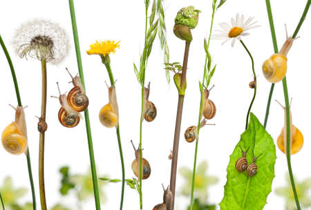 Pastoral composition of flowers and Garden snails, Helix aspersa, and Mediterranean snails, Theba pisana, against white background photo