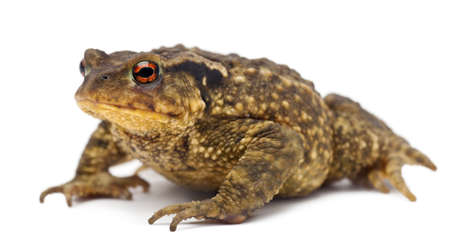 Common toad, Bufo bufo, against white background photo