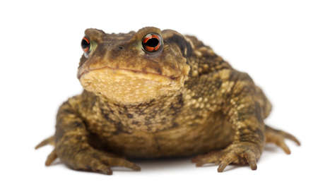 bufo toad: Common toad, Bufo bufo, against white background
