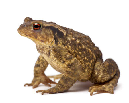 bufo bufo: Common toad, Bufo bufo, against white background
