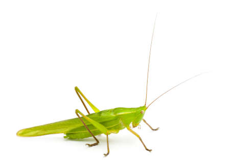 grasshoppers: Large Conehead, Ruspolia nitidula, against white background