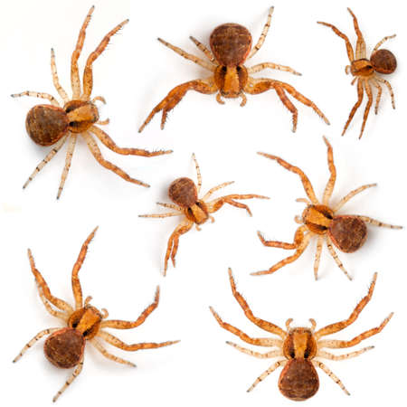Crab spiders, Xysticus sp against white background photo