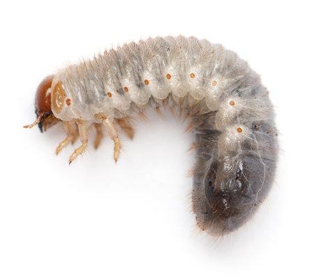 mealworm: Larva of mealworm, Tenebrio molitor, against white background