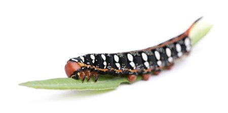 hyles: Spurge Hawk, Hyles Euphorbiae, caterpillar on leaf against white background Stock Photo