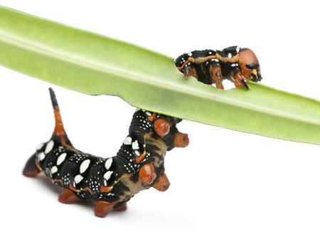 hyles: Spurge Hawk, Hyles Euphorbiae, caterpillar eating on leaf against white background