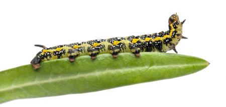 Spurge Hawk, Hyles Euphorbiae, caterpillar, 3 weeks on leaf against white background photo