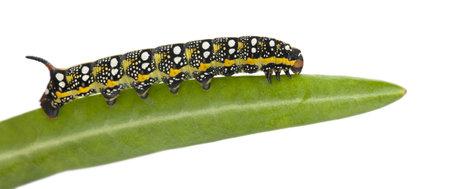 hyles: Spurge Hawk, Hyles Euphorbiae, caterpillar, 3 weeks on leaf against white background Stock Photo