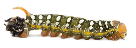 hyles: Spurge Hawk end of molting, Hyles Euphorbiae, caterpillar, 3 weeks old against white background Stock Photo