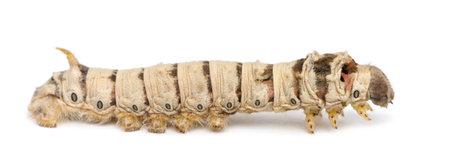 silkworm: Silkworm larvae, Bombyx mori, against white background