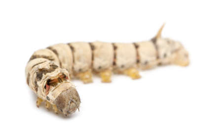 silkworm: Silkworm larvae, Bombyx mori, against white background