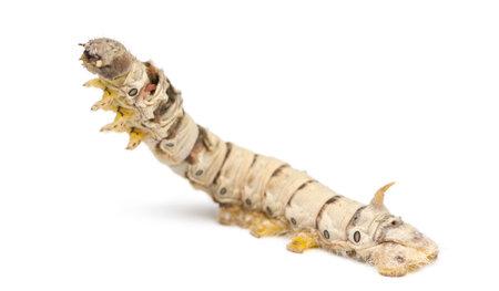 bombyx mori: Silkworm larvae, Bombyx mori, against white background