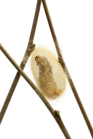 silkworm: Silkworm larvae caterpillar seen through the cocoon its making, Bombyx mori, against white background Stock Photo