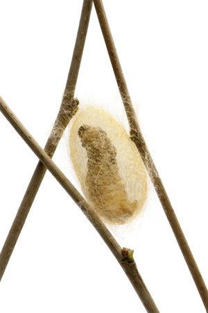 larvae: Silkworm larvae caterpillar seen through the cocoon its making, Bombyx mori, against white background Stock Photo