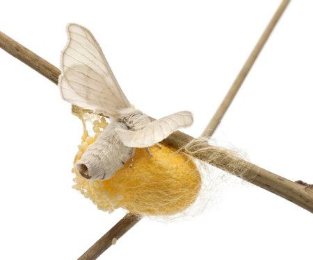 capullo: Silkmoth Domesticado junto al propio capullo, Bombyx mori, la puesta de huevos contra el fondo blanco