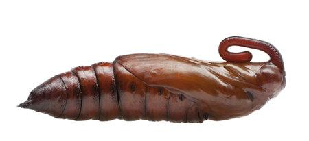 convolvulus: Pupa of Convolvulus Hawk-moth or Sweetpotato Hornworm, Agrius convolvuli against white background Stock Photo