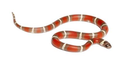 triangulum: Milk Snake, Lampropeltis triangulum nelsoni, against white background