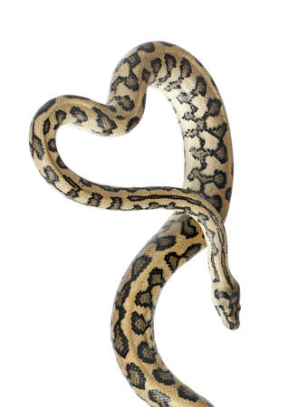 Python, Morelia spilota variegata,close up against white background photo
