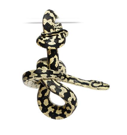 Jungle Carpet Python, Morelia spilota cheynei, black and yellow, against white background photo