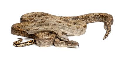 boas: Due Boas comuni del Nord, Boa constrictor imperator, da Hog Island, Honduras, America Centrale, contro sfondo bianco