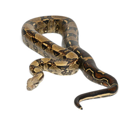 constrictor: Common Northern Boa, Boa constrictor imperator, imperator is the color, against white background