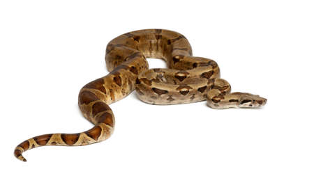 imperator: Common Northern Boa, Boa constrictor imperator, against white background