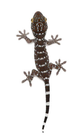 Tokay Gecko, Gekko gecko, against white background photo