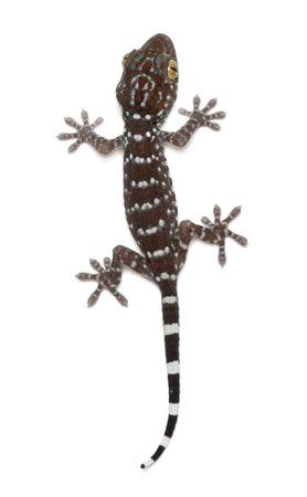 tokay gecko: Tokay Gecko, Gekko gecko, against white background