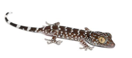 tokay gecko: Tokay Gecko, Gekko gecko, portrait against white background