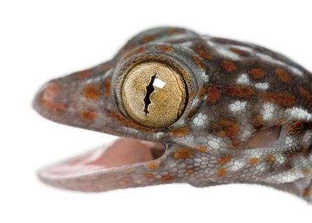 tokay gecko: Tokay Gecko, Gekko gecko, close up against white background Stock Photo