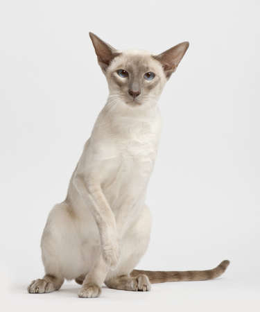 Siamese cat, portrait against white background photo