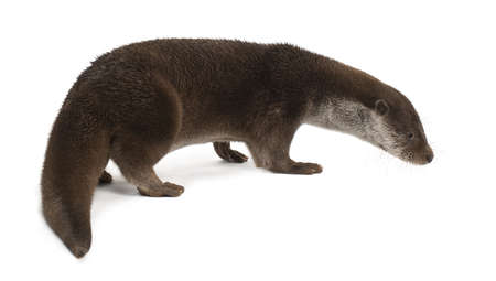 otter: European Otter, Lutra lutra, 6 years old, standing against white background