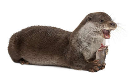 European Otter, Lutra lutra, 6 years old, lying and eating against white background Stock Photo - 14275842