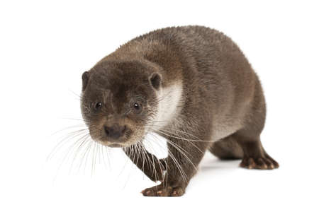 otter: European Otter, Lutra lutra, 6 years old, walking against white background Stock Photo