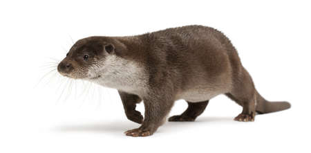 otter: European Otter, Lutra lutra, 6 years old, against white background Stock Photo