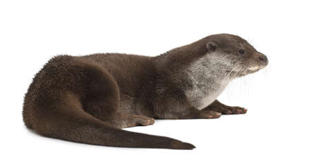 European Otter, Lutra lutra, 6 years old, against white background Stock Photo - 14275919