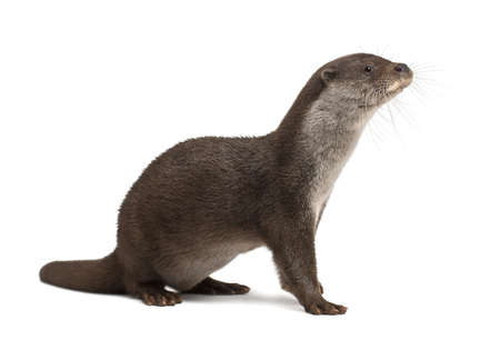 6 years: European Otter, Lutra lutra, 6 years old, against white background Stock Photo