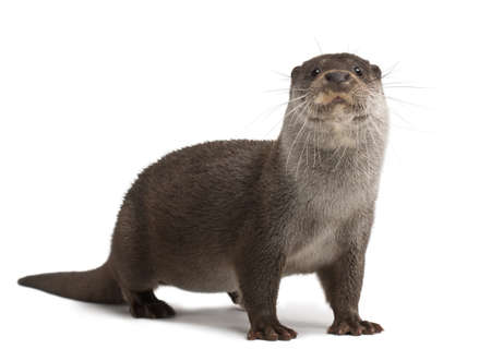 otter: European Otter, Lutra lutra, 6 years old, portrait standing against white background